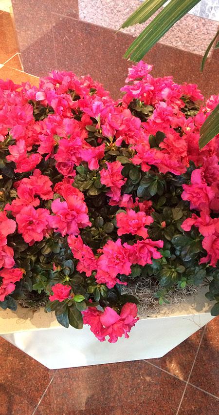 An image of azaleas