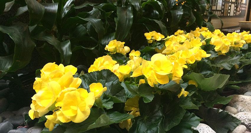 An image of yellow begonias