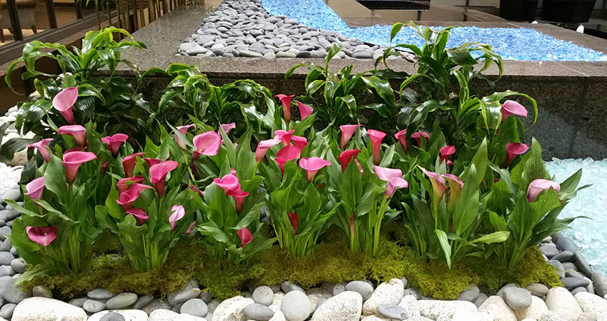 An image of calla lilies