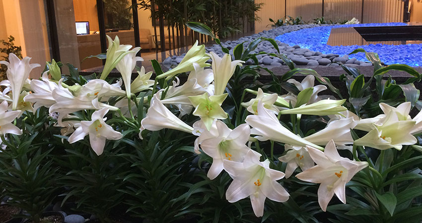 An image of Easter Lilies